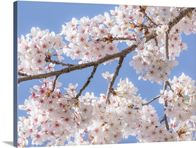 Spring Cherry Blossoms II