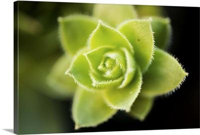 Succulent Blossom I