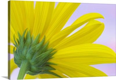 Sunflower Macro I