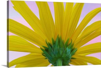 Sunflower Macro II