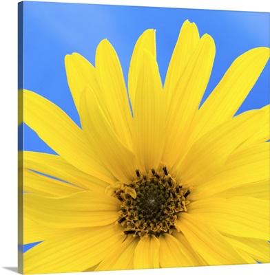 Sunflower on Blue I