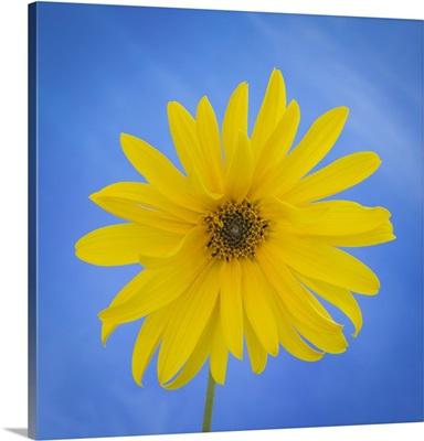 Sunflower on Blue II