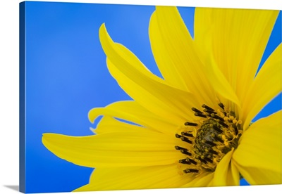 Sunflower on Blue III