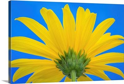 Sunflower on Blue IV