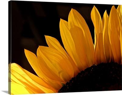 Sunlit Sunflowers III