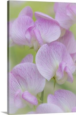 Sweet Pea Blossoms III