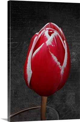 Tulip Letter III