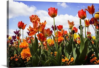 Tulip Parade I