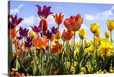 Tulip Parade II