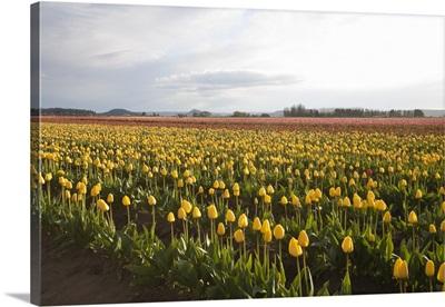 Tulips at Sunset I
