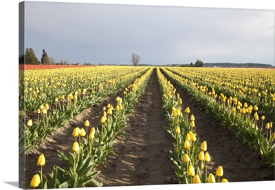 Tulips at Sunset II
