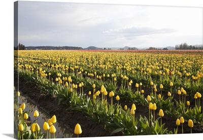 Tulips at Sunset V