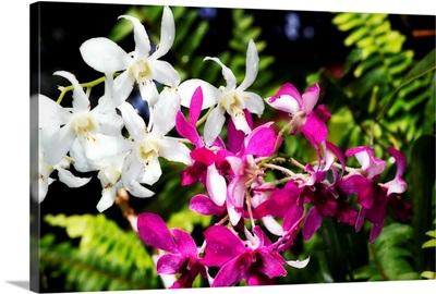 Vanda Orchids II