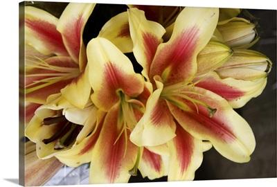 Vanilla Lily I