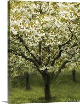 White Cherry Tree I