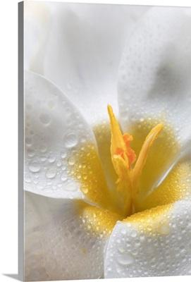 White Crocus Blossoms II