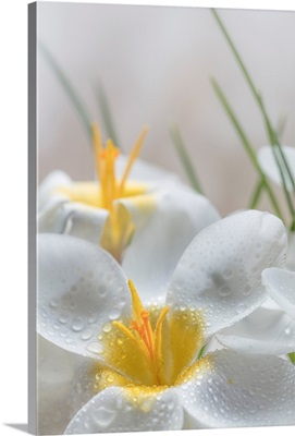 White Crocus Blossoms III