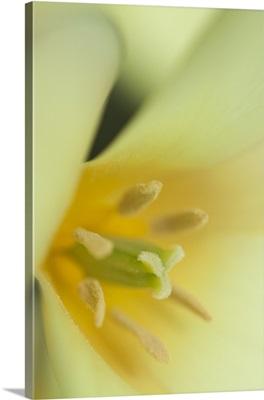 Yellow Burst II