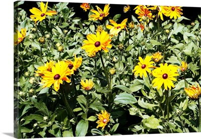 Yellow Daisies I