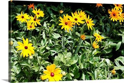 Yellow Daisies II