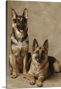 2 German Shepherds One Sitting And One Lying Down Wall