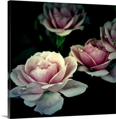 4 vintages roses on black background.