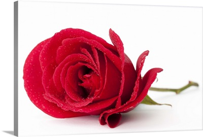 A beautiful single red rose isolated on white