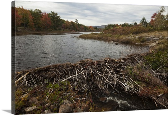 beaver dams single parents Beaver may best be known for their dams, but that isn't the only thing they build learn about their other great construction project, the beaver den.