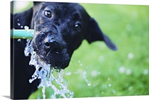 A black Labrador mix puppy dog drinks from a water hose
