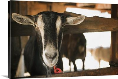 A farm animal on an organic farm. A goat in a pen