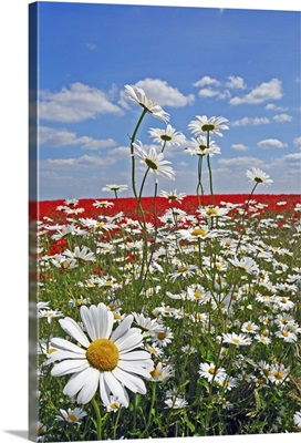 A farmland field of white ox-eyed daisies and red poppies