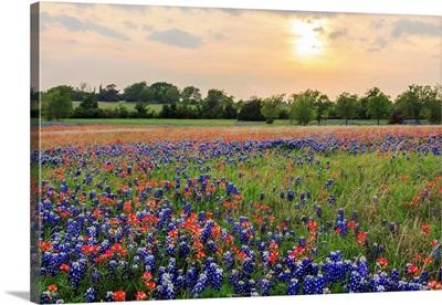 A Field Of Texas Wildflowers