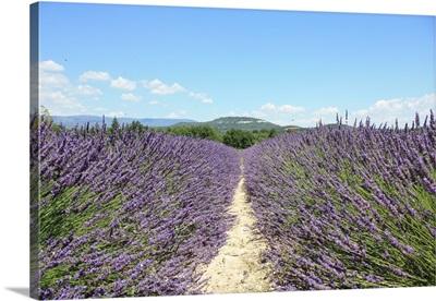 A field of wild purple Lavender in Avignon of Provence.