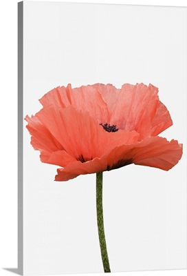 A giant pink poppy against white background