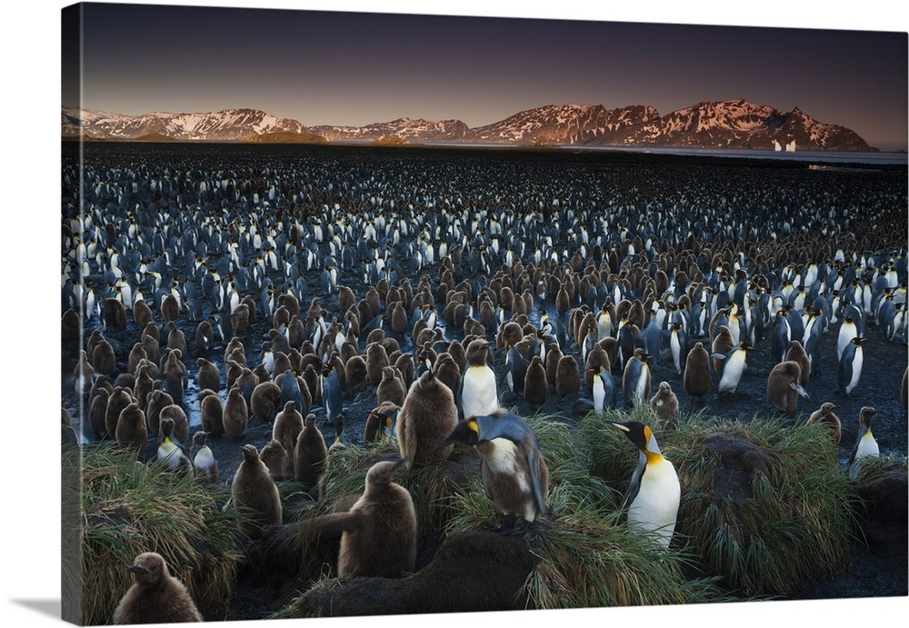 A King Penguin Colony South Georgia Island In The
