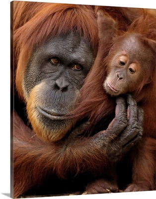 A mother and baby orangutan share a hug.