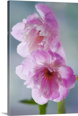A Pair of Pink Peony Flowers. Paeonia lactiflora