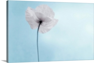 A poppy seen from the stem with desaturated tones, against cool blue background.