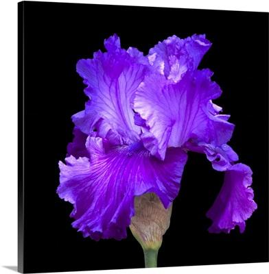 A purple iris against a black backdrop highlights its beauty
