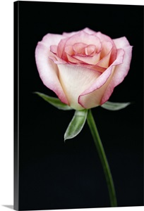 A Single Pink Rose On A Stem Against A Black Background