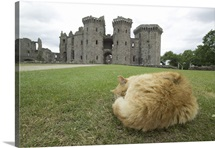 A tired ginger cat sleeps while Raglan Castle ruins loom in the distance behind
