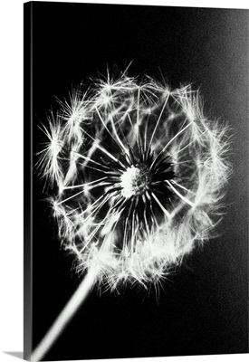 A weed found in all temperate regions, the dandelion is sometimes cultivated