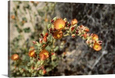 A wild desert flower in the Joshua Tree National Park.