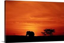 African elephant (Loxodonta africana) standing, at sunset, side view, Masai Mara, Kenya