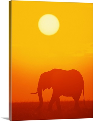 African elephant walking at sunset , Kenya , Africa