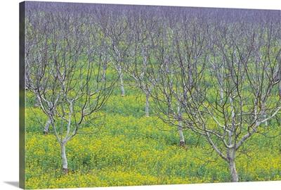 Almond Grove And Wild Mustard Plants