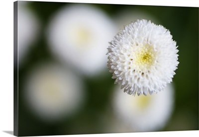 An isolated white flower bud with soft cream centre.