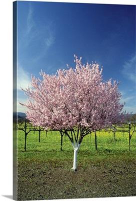 Apple tree in a field, Napa Valley, California, USA