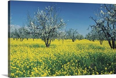 Apple trees in a Mustard field, Napa Valley, California, USA