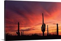 Arizona sunset over saguaro cacti